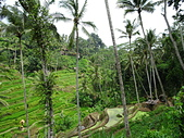遠走高飛:Tegalalang Rice Terrace.JPG
