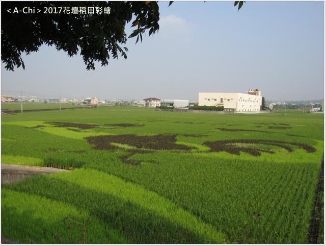 稻田彩繪 - 【彰化。花壇】2017花壇稻田彩繪