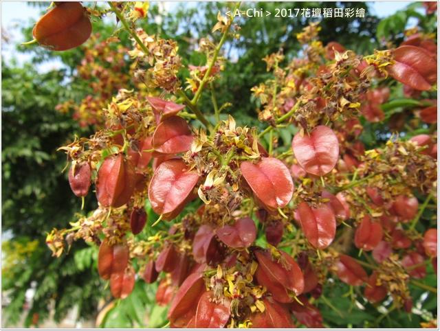 台灣櫟樹 - 【彰化。花壇】2017花壇稻田彩繪