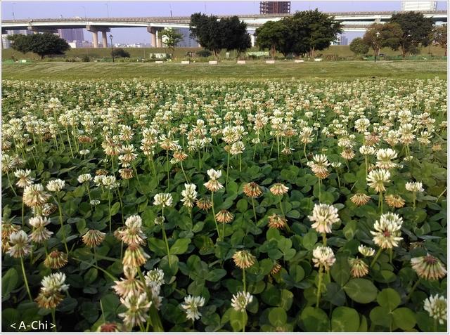 白色苜蓿 - 【新北市。三重】幸福水漾公園~白色苜蓿