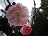 2012.2. 中正紀念堂宮粉梅..粉墨豋場:DSC07490.jpg