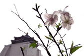 2014.2.初春花樣_中正紀念堂的櫻與梅:IMG_0413jpg