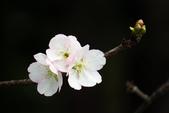 2014.2.初春花樣_中正紀念堂的櫻與梅:IMG_0414.jpg