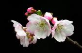 2014.2.初春花樣_中正紀念堂的櫻與梅:IMG_0422.jpg
