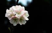 2014.2.初春花樣_中正紀念堂的櫻與梅:IMG_0427.jpg