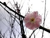 2012.2. 中正紀念堂宮粉梅..粉墨豋場:DSC07516.jpg