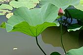2011.台北植物園(上)初夏荷影:DSC07079