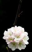 2014.2.初春花樣_中正紀念堂的櫻與梅:IMG_0432.jpg