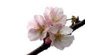 2014.2.初春花樣_中正紀念堂的櫻與梅:IMG_0444.jpg