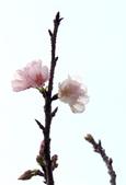 2014.2.初春花樣_中正紀念堂的櫻與梅:IMG_0453.jpg