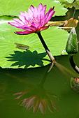 2011.台北植物園(下)初夏蓮想:DSC06934-2.jpg