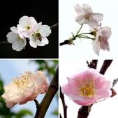 2014.2.初春花樣_中正紀念堂的櫻與梅:相簿封面
