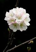 2014.2.初春花樣_中正紀念堂的櫻與梅:IMG_0431.jpg