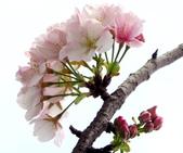 2014.2.初春花樣_中正紀念堂的櫻與梅:IMG_0456.jpg