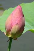 2011.台北植物園(上)初夏荷影:DSC06987