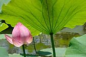 2011.台北植物園(上)初夏荷影:DSC07038