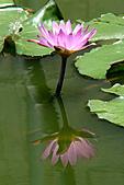 2011.台北植物園(下)初夏蓮想:DSC06957