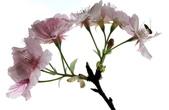 2014.2.初春花樣_中正紀念堂的櫻與梅:IMG_0336.jpg