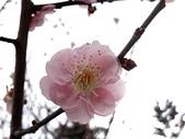 2012.2. 中正紀念堂宮粉梅..粉墨豋場:DSC07446-1.jpg