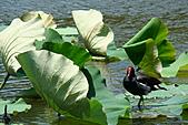 2011.台北植物園(上)初夏荷影:DSC07102