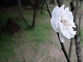 2012.2. 中正紀念堂宮粉梅..粉墨豋場:DSC07482.jpg