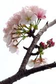 2014.2.初春花樣_中正紀念堂的櫻與梅:IMG_0455-3.jpg