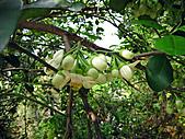 2011西湖柚花季:IMG_7056.JPG