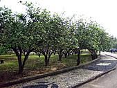 2011西湖柚花季:IMG_7033.JPG