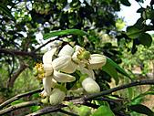2011西湖柚花季:IMG_7057.JPG