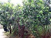 2011西湖柚花季:IMG_7058.JPG