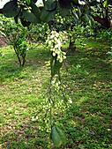 2011西湖柚花季:IMG_7014.JPG