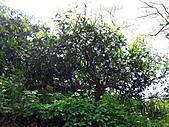 2011西湖柚花季:IMG_7099.JPG