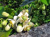 2011西湖柚花季:IMG_7021.JPG