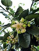 2011西湖柚花季:IMG_7022.JPG