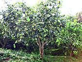 2011西湖柚花季:IMG_7023.JPG
