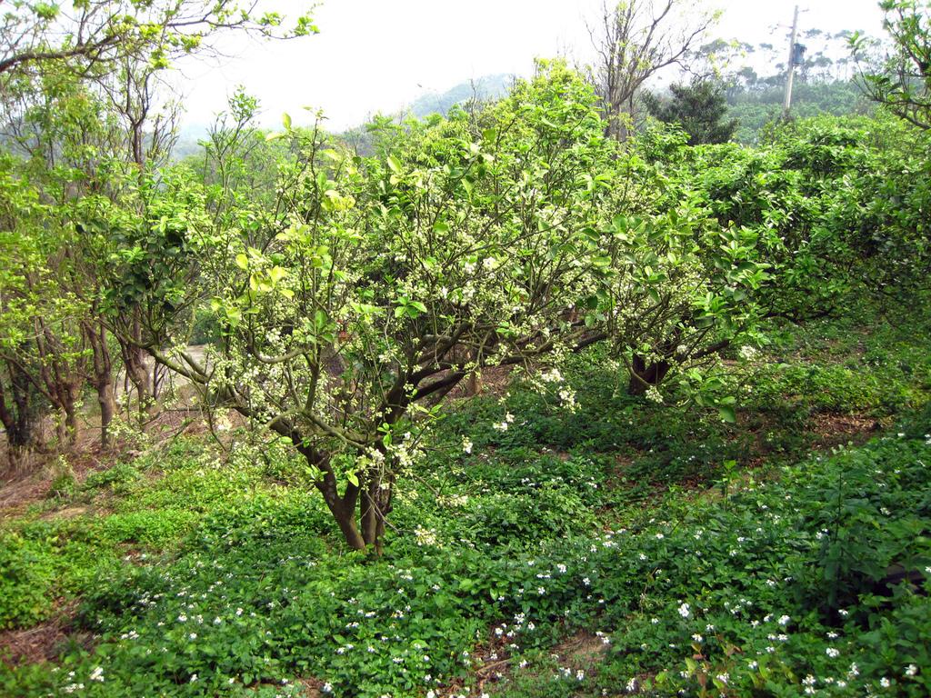 2011西湖柚花季:IMG_7070.JPG