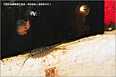 白帶魚大作戰:IMG_2469.jpg