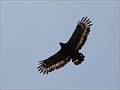 陽明山竹子湖:出來練飛的大冠鷲