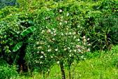 茶花之美:2013坪林粗石斛茶花園1