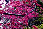 桃園市---楊梅區:回善寺櫻花美景8