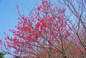 楊梅超級神秘櫻花林:2015年櫻花林隨拍5