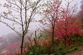 三峽賞櫻超級秘境B區:2015霧裡看花花還是花102