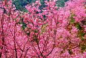 三峽賞櫻超級秘境A區:2015年開到爆炸美到翻130