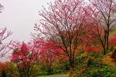 三峽賞櫻超級秘境B區:2015霧裡看花花還是花1
