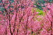 三峽賞櫻超級秘境A區:2015年開到爆炸美到翻143