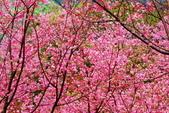 三峽賞櫻超級秘境A區:2015年開到爆炸美到翻139