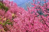 三峽賞櫻超級秘境A區:2015年開到爆炸美到翻151
