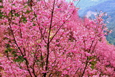 三峽賞櫻超級秘境A區:2015年開到爆炸美到翻154