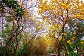 彰化縣---二水鄉:豐柏廣場2015黃花風鈴木盛開9