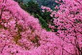 三峽賞櫻超級秘境A區:2015年開到爆炸美到翻157